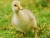 小鵝得了痛風怎么辦,吃什么可以治療鵝痛風怎么能夠養好鵝?