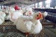 小雞打呼嚕怎么治療吃什么藥治小雞感冒發燒流鼻涕