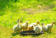 蛋鵝產蛋時長短怎么回事怎樣快速增加蛋鵝增蛋率