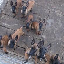 贵阳正规训犬基地常年繁殖比利时马犬健康有保障签协议质保