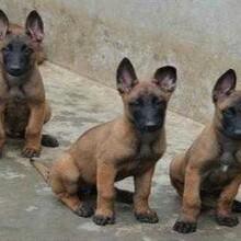 辽宁养殖场高品质的马犬幼犬出售了疫苗做完