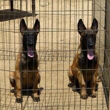 四川哪里的马犬好选四川祥农犬舍养殖基地