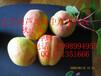 遼寧綏中六月早熟杏