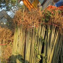 专供1公分大棚香椿苗红香椿树苗种植管理图片