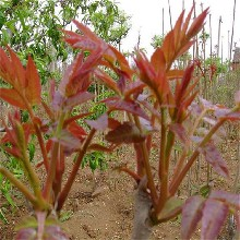 大量批发80公分香椿苗红油香椿苗成活率高图片