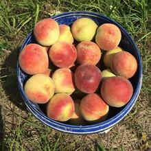 基地供应4公分重阳红桃树苗重阳红桃树苗种植时间图片