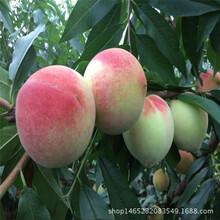 供应植株健壮中华福桃树苗果树直销价格优惠黑桃苗图片