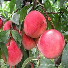 急售1公分映霜红桃树苗映霜红桃树苗多少钱一棵图片