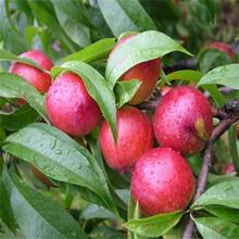 优质1公分中油4号桃树苗中油4号桃树苗需要的快来图片