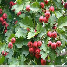自产自销1-5公分甜红籽山楂苗基地出售抗旱抗寒占地山楂苗