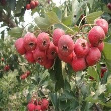 出售易成活占地山楂苗低价供应优质甜红籽山楂苗
