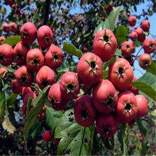 山东果树基地规格齐全甜红籽山楂苗基地出售小规格嫁接山楂苗