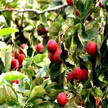 1公分2公分甜红籽山楂苗优质嫁接山楂苗