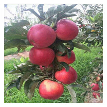 清地处理抗旱抗寒维纳斯黄金苹果苗价格优惠3公分红露苹果苗图片