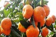 柳城蜜桔苗价格,哪里有柳城蜜桔苗卖,大量批发柳城蜜桔苗