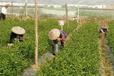 来宾哪里有美国糖桔苗出售
