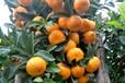梧州柑桔苗出售&梧州柑桔苗价格多少钱&梧州供应大量柑桔苗