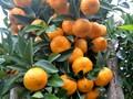 百色供应鹿寨蜜橙果苗|百色鹿寨蜜橙果苗基地批发|百色鹿寨蜜橙果苗多少钱图片