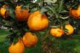来宾哪里有无核蜜橙苗基地