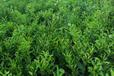 梧州哪里有优质无核沃柑苗卖的