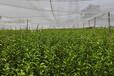 梧州大量金桔子树苗批发_梧州金桔子树苗价格多少钱一棵_梧州金桔子树苗基地