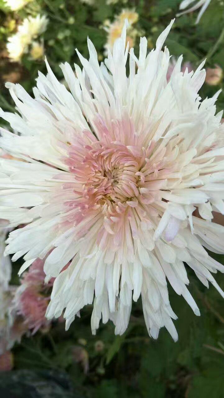 朵白色菊花茶