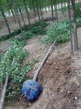 8公分新疆杨价格,新疆杨树供应,保定苗木基地