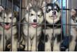 貴陽買純種阿拉斯加小狗多少錢南明本地哪里賣的阿拉斯加健康貴州寵物狗