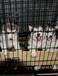 專業養殖場常年出售純種健康阿拉斯加小狗已做疫苗和驅蟲
