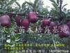 天水苗木基地出售正宗天水花牛系苹果苗嫁接花牛苹果树苗花牛系苹果树苗