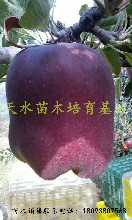 甘肃天水花牛苹果树苗品种图片