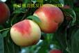 河南桃树苗批发,桃树苗嫁接,桃树苗价格,梨树苗批发,果树苗批发