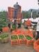 石門柑橘9月大量上市柑橘代收代辦