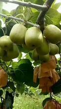 出售蒲江红心猕猴桃,果园直邮