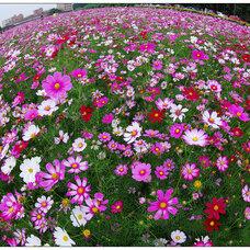 波斯菊种子,格桑花种子,百日草种子,黑麦草种子