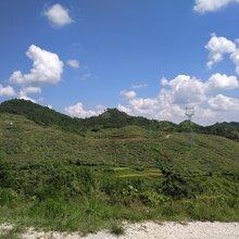 高山綠色環保紫秋葡萄鮮果圖片