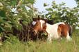 矮马养殖矮马价格