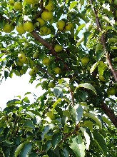 遼寧錦州各品種鮮梨20萬斤可批發可代理一件發貨圖片