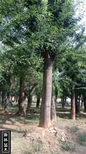 绿化园林苗木一级国槐20公分一年冒销售