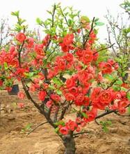 北京大兴果树花卉销售基地大量供应石榴树葡萄树樱桃树牡丹花