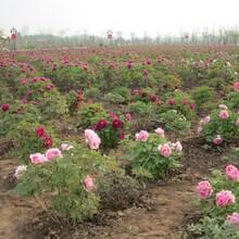 北京园林别墅庭院绿化承接公司大量供应果树花卉绿化苗占地苗