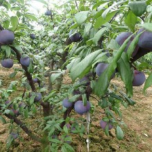 北京大型果树苗圃常年销售果树樱桃树葡萄树海棠树占地树