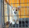 纯种活体柯基幼犬宠物狗狗威尔士三色柯基双色柯基小短腿柯基幼犬图片