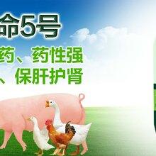 肉鸡吃什么长得快肉鸡催肥药肉禽催肥增重王图片