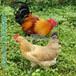 广西红瑶土鸡苗河池正宗土鸡苗包打疫苗包邮