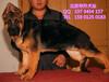 纯种德国牧羊犬赛级德国牧羊犬血统纯证名血之后