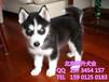 北京哪卖哈士奇犬黑白色哈士奇北京正规犬舍出售哈士奇幼犬