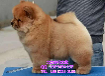 纯种肉嘴松狮北京哪卖松狮幼犬精品白色松狮签订售后协议