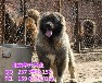 北京哪賣純種高加索犬高加索幼犬多少錢一只