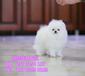 北京哪有賣博美的哈多利球體博美北京華升犬業直銷